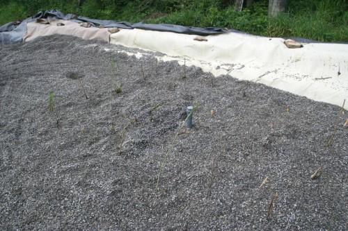 Výstavba kořenové čistírny u Horního mlýna ve Křtinách - zasazené rostlinky rákosu
