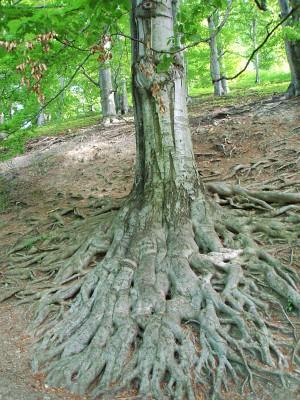 Kořenový systém v oboře Hukvaldy