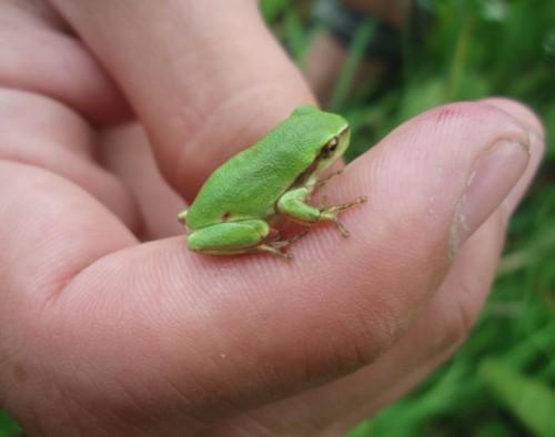 Může se stát, že na svou zahradu k jezírku jednou přilákáte i takovou malou krásku, jakou je rosnička zelená (Autor: Veronika Kalníková).