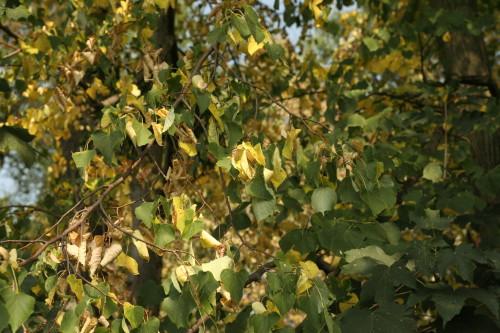 Stromy kvůli vleklému suchu vypadají, jako by měl být už konec září a ne počátek srpna (Autor fotografií: Veronika Kalníková).