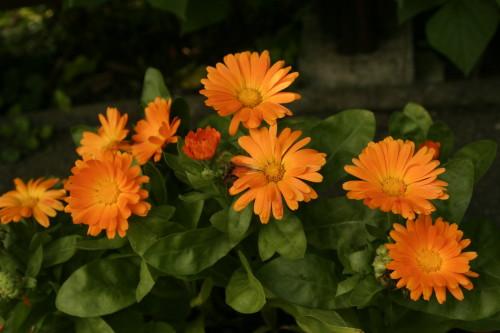 Oblíbená a často pěstovaná nenáročná léčivka – měsíček zahradní. Ilustrační obrázek (Autor fotografie: Veronika Kalníková).